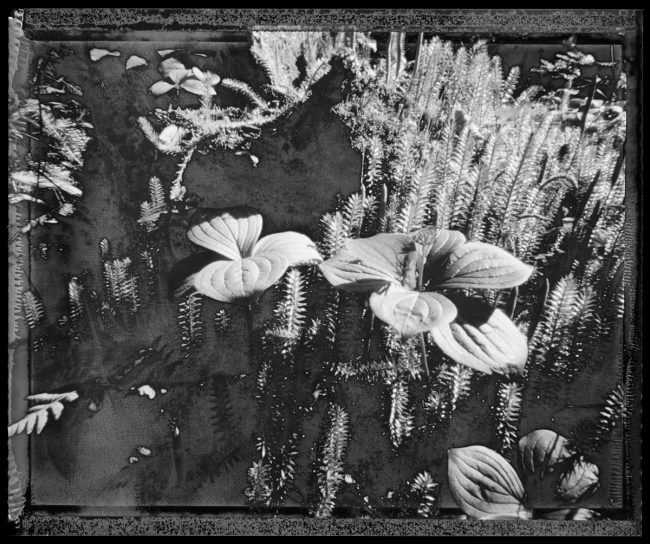 Princess Pine, Isle Royale - pinhole camera photograph